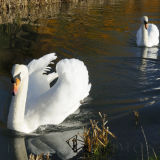 Swans on the Coln