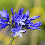 Agapanthus