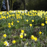 Daffodils1