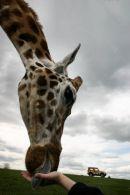 Giraffe in Hand