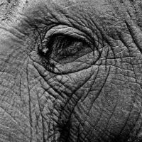 African Elephant, Melbourne Zoo