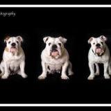 British Bulldogs