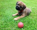 Border Terrier Outdoor Photoshoot