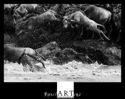 Leaping wildebeest crossing the Mara River