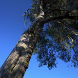 Big Tree in Blue