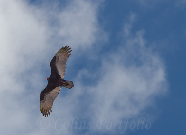 A Bald Eagle circling high over the city