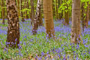 standing among the bluebells