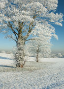 Frosted sycamores