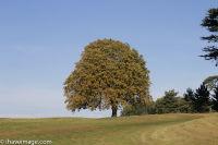 Autumn Tree at Brocket Hall golf course