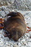 Sleeping seal Kaikoura beach