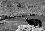 Goat's sunbath