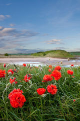 Alnmouth poppies