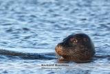 Wild Seal 1