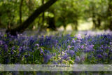 Ray of light on a carpet of bluebells