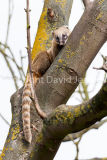 Brown nosed Coati