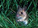 Wood Mouse - Apodemus sylvaticus