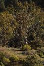 Tree, Flinders Ranges