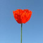Poppy in the Sky