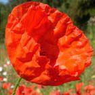 Red Field Poppy