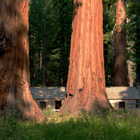 Giant Sequoias, Yosemite, California