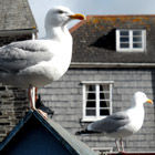 Two Seagulls, Padstow, Cornwall