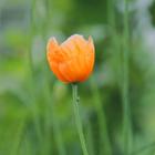 Orange Poppy #1