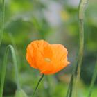 Orange Poppy #2