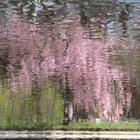 Pink Breeze