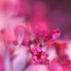 Pink Phantasy