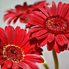 Three red Gerberas