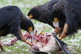 Striated Caracaras feast