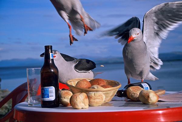 Dolphin gull raid