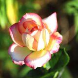 Rosa Cloti A