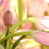pink Amaryllis A