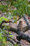 Bubo (ketupa) zeylonensis brown fish eagle owl