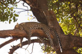 Panthera Pardus Leopard up a tree