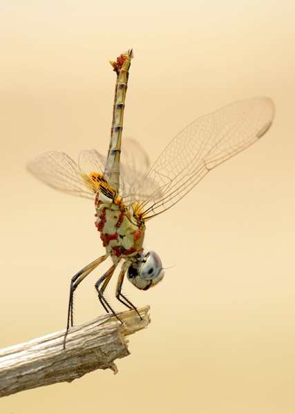 Dragonfly infested with water mites, Zimbabwe