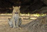 Female Leopard, Zambia