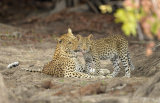 Leopard and cub greet each other, Zambia