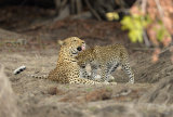 Leopard and cub, Zambia