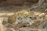 Leopard licking its cub, Zambia