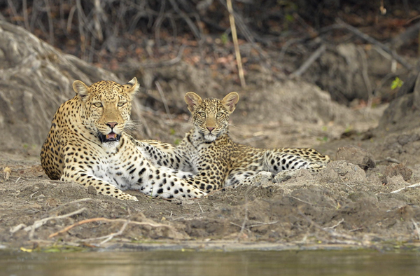 Leopard mother and cub, Zambia