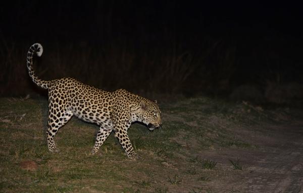 Prowling Leopard, Zambia