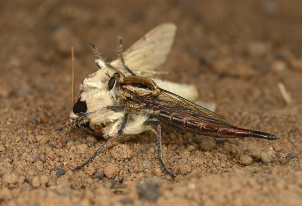 Robber Fly attacking a Hawkmoth, Zambia
