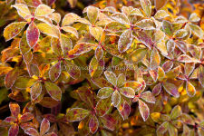 Frosted Pieris