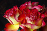 Red yellow roses 2
