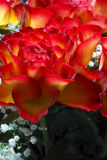 Red yellow roses 1