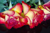 Red yellow roses 3