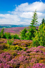 Yorkshire Heather