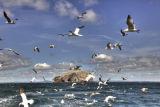 Gannets circling off Bass Rock, Northumberland